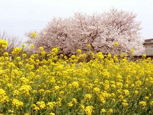 桜と菜の花③.jpg